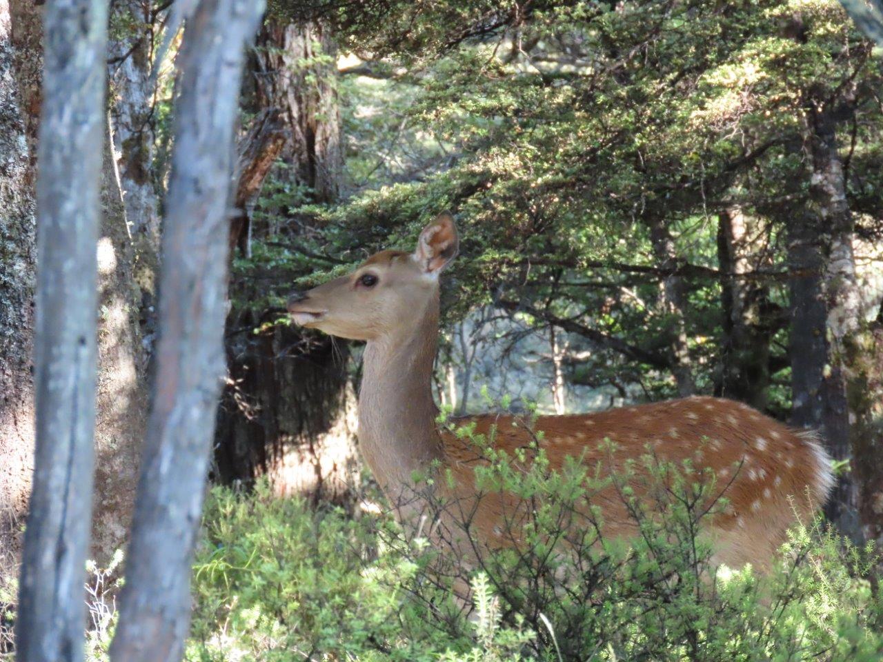 Sika in its natural habitat. Photo: Fiona Duley.